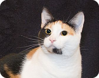 Calico Cat for adoption in Elmwood Park, New Jersey - Cailan