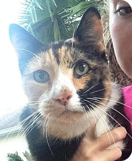 Calico Cat for adoption in Bunnell, Florida - Talli