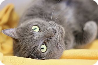 Domestic Shorthair Cat for adoption in Chicago, Illinois - Pearl Earring