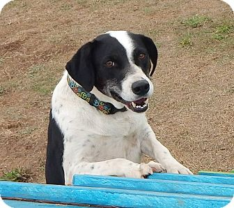 Border Collie Dog for adoption in Salem, Oregon - Abby