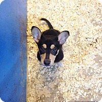 Adopt A Pet :: MUSKETEER BOY - Pompton Lakes, NJ