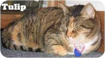 Domestic Shorthair Cat for adoption in Eugene, Oregon - Tulip