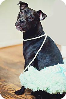 Labrador Retriever/Terrier (Unknown Type, Medium) Mix Dog for adoption in Franklinville, New Jersey - Zoe Jane