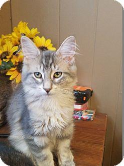Domestic Longhair Kitten for adoption in Warren, Michigan - Nova