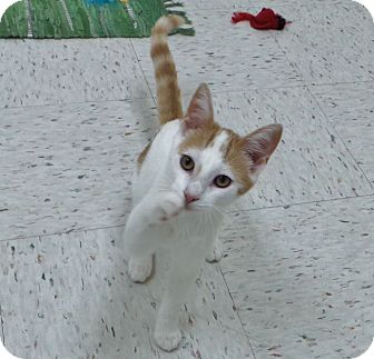 Domestic Shorthair Cat for adoption in Chambersburg, Pennsylvania - Chester