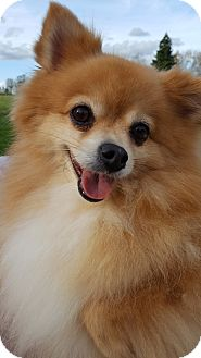 Pomeranian Dog for adoption in Vancouver, Washington - Kodi