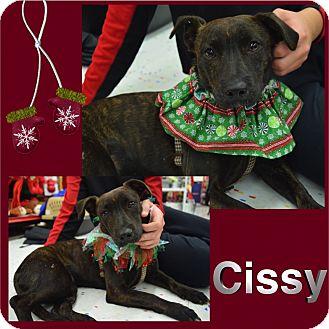 Labrador Retriever/Terrier (Unknown Type, Medium) Mix Puppy for adoption in Washington, Pennsylvania - Cissy