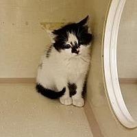 Domestic Mediumhair Kitten for adoption in Westbury, New York - Pippin
