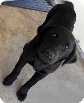 Labrador Retriever Mix Puppy for adoption in Island Park, New York - Lila