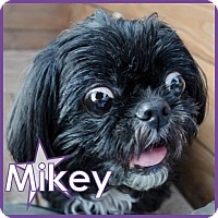 Adopt A Pet :: Mikey - Excelsior, MN