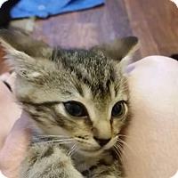 Domestic Shorthair Kitten for adoption in Baltimore, Maryland - Daniel