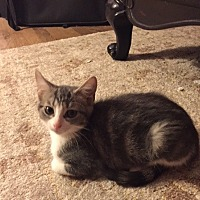 Domestic Shorthair Kitten for adoption in Richardson, Texas - Diane 17-0117
