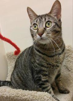 Domestic Shorthair/Domestic Shorthair Mix Cat for adoption in Elk Grove Village, Illinois - Melanie