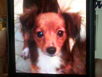 Collie/Chihuahua Mix Dog for adoption in Providence, Rhode Island - Sissy Newberry