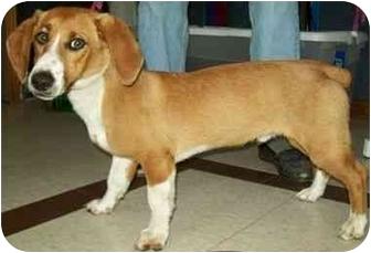 Corgi/Beagle Mix Dog for adoption in North Judson, Indiana - Gorgeous George