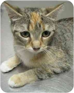 Domestic Shorthair Cat for adoption in Jenkintown, Pennsylvania - Quilty