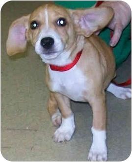 Beagle Mix Puppy for adoption in Murphysboro, Illinois - Jitter Bug