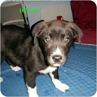Akita Mix Puppy for adoption in Slidell, Louisiana - Deuce