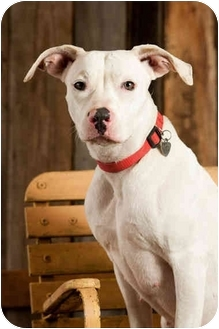 American Pit Bull Terrier Dog for adoption in Portland, Oregon - Snow Bunny