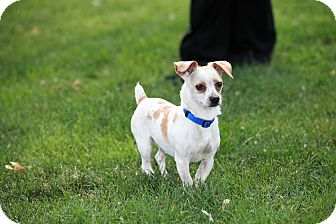 Chihuahua/Maltese Mix Dog for adoption in Troy, Michigan - Doc