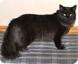 Domestic Longhair Cat for adoption in Colorado Springs, Colorado - K-Hodnick4-Miriam