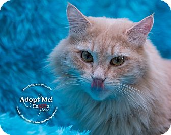 Domestic Longhair Cat for adoption in Grinnell, Iowa - Hiccup