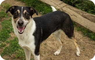 Australian Cattle Dog/Cattle Dog Mix Dog for adoption in Pilot Point, Texas - COWBOY