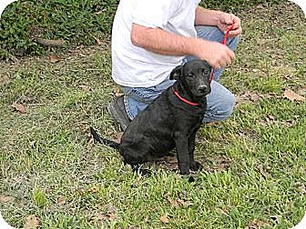 Labrador Retriever/Australian Cattle Dog Mix Dog for adoption in Baton Rouge, Louisiana - Mario