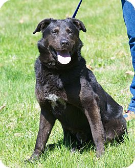 Labrador Retriever/Shepherd (Unknown Type) Mix Dog for adoption in Medfield, Massachusetts - Max