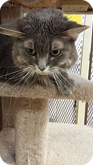 Domestic Longhair Cat for adoption in Galesburg, Illinois - Tiffany