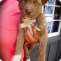 Adopt A Pet :: Teddy - Cypress, CA