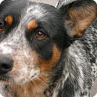 Adopt A Pet :: Heeler - Aloha, OR