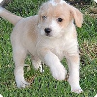 Adopt A Pet :: Sammy - La Habra Heights, CA