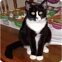 Adopt A Pet :: Purr-fect D'Arcy - Scottsdale, AZ