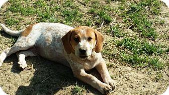 Labrador Retriever/Hound (Unknown Type) Mix Puppy for adoption in Cincinnati, Ohio - Dauber