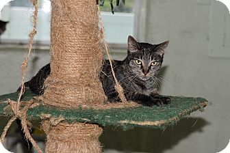 Domestic Shorthair Cat for adoption in Brooksville, Florida - Solitare