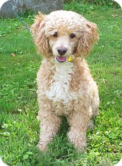 Poodle (Miniature) Dog for adoption in Middletown, New York - Roscoe