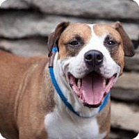 American Bulldog/Boxer Mix Dog for adoption in Louisville, Kentucky - Chance