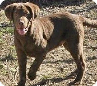 Labrador Retriever Mix Dog for adoption in Briarcliff Manor, New York - Ready Fri., Mar. 6th