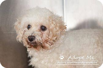 Bichon Frise Dog for adoption in Reed City, Michigan - CINDERELLA