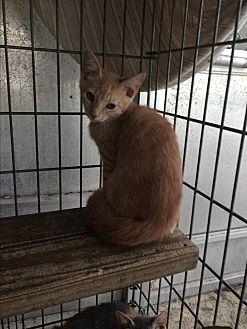 Domestic Shorthair Kitten for adoption in Sunny Isles Beach, Florida - Sherbert