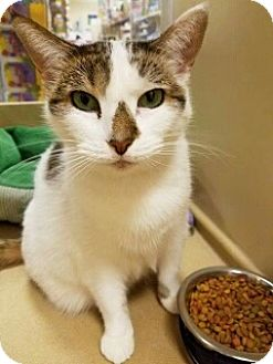 Domestic Shorthair Cat for adoption in Kalamazoo, Michigan - Mia 2 - PetSmart