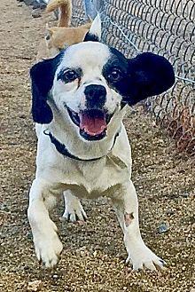 Cocker Spaniel/Maltese Mix Dog for adoption in Lancaster, California - Snoopy