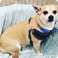Chihuahua/Corgi Mix Dog for adoption in Los Angeles, California - Tango