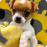 Adopt A Pet :: Teacup Maisy - Encino, CA