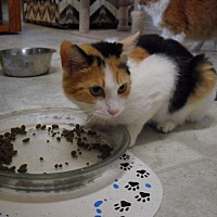 Calico Cat for adoption in Blountstown, Florida - Cinderella