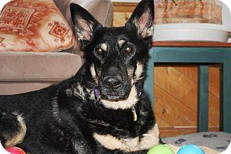 German Shepherd Dog Dog for adoption in Greeley, Colorado - Luke