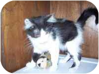 Domestic Mediumhair Kitten for adoption in Grand Rapids, Michigan - Kaboodle