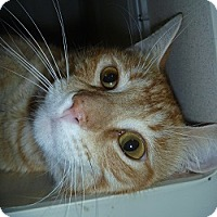 Domestic Shorthair Cat for adoption in Hamburg, New York - Donny