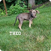 Adopt A Pet :: Theo - Southington, CT